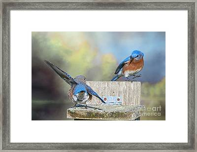 Framed Print featuring the photograph Dancing Bluebirds by Bonnie Barry