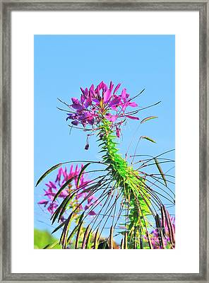Framed Print featuring the photograph Dancing Cleome by Debbie Stahre