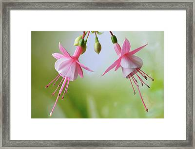 Framed Print featuring the photograph Dancing Fuchsia by Terence Davis