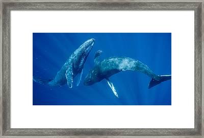 Dancing Humpback Whales Framed Print by Flip Nicklin