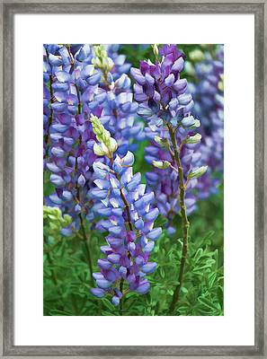Framed Print featuring the photograph Dancing Lupines - Spring In Central California by Ram Vasudev