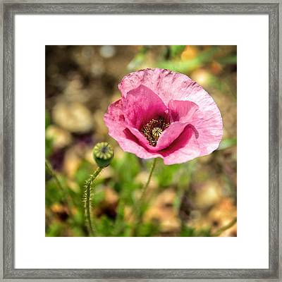 Framed Print featuring the photograph Dancing Pink Poppy by Marion McCristall