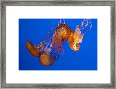 Dancing Sea Nettles Framed Print