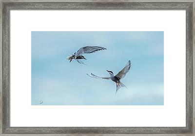 Dancing Terns Framed Print