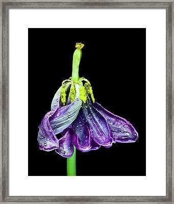 Dancing Tulip 2 Framed Print