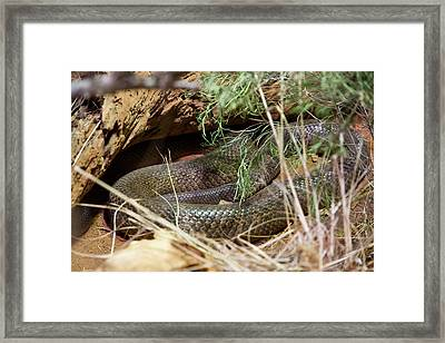 Framed Print featuring the photograph Dandarabilla The Inland Taipan by Miroslava Jurcik