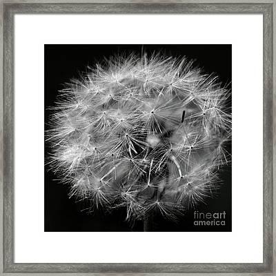 Dandelion 2016 Black And White Square Framed Print