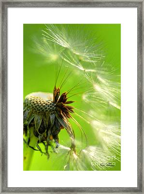 Framed Print featuring the photograph Dandelion by Alana Ranney