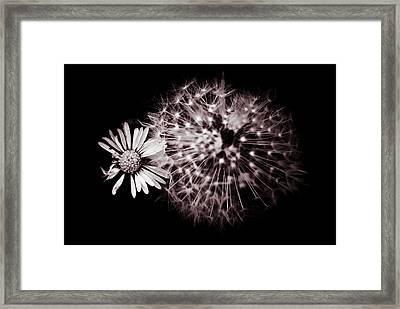 Dandelion And Daisy Framed Print by Grebo Gray