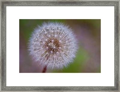 Framed Print featuring the photograph Dandelion by April Reppucci