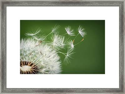 Dandelion Blowing Framed Print by Bess Hamiti
