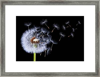 Dandelion Blowing On Black Background Framed Print by Bess Hamiti