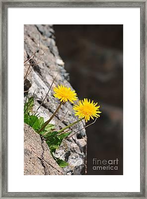 Dandelion Framed Print by Catherine Reusch Daley
