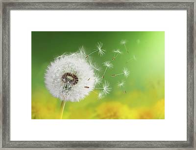 Dandelion Clock In Morning Framed Print by Bess Hamiti