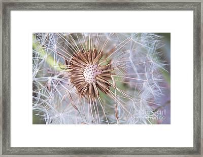 Dandelion Delicacy Framed Print