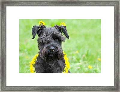 Dandelion Dog Framed Print by Ferenc Kosa