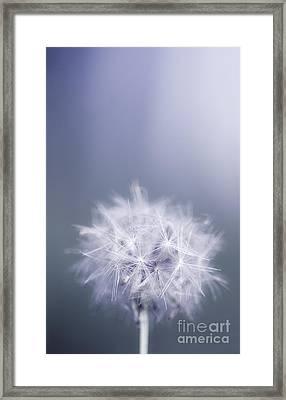 Dandelion Flower In Cold Blue Field. Winter Wish Framed Print