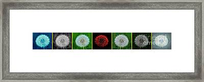 Dandelion Flower Seed Heads Panorama Special Effects Framed Print