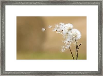 Dandelion Fluff Framed Print by John Short