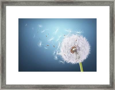 Dandelion Flying On Background Blue Framed Print by Bess Hamiti