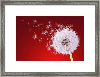 Dandelion Flying On Reed Background Framed Print