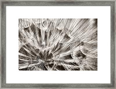 Dandelion Framed Print by Gabriela Insuratelu