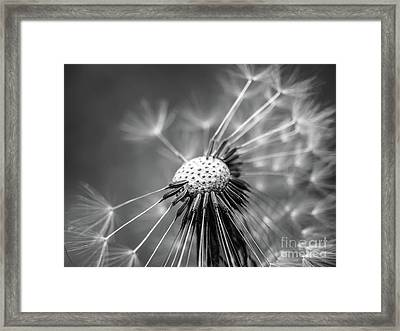 Dandelion In Black And White Framed Print
