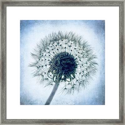 Dandelion In Blue Framed Print by Tamyra Ayles