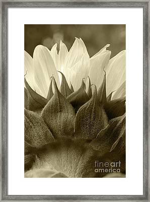 Framed Print featuring the photograph Dandelion In Sepia by Micah May