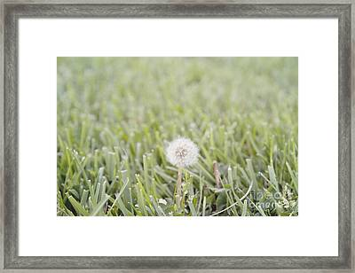 Framed Print featuring the photograph Dandelion In The Grass by Cindy Garber Iverson