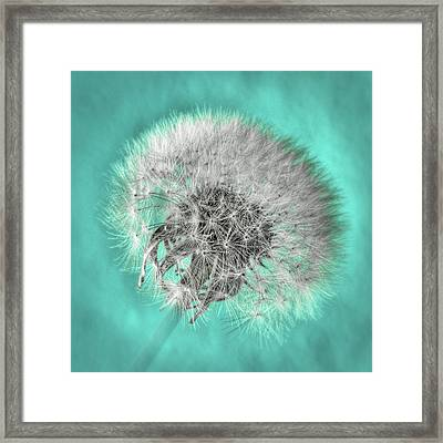 Dandelion In Turquoise Framed Print by Tamyra Ayles