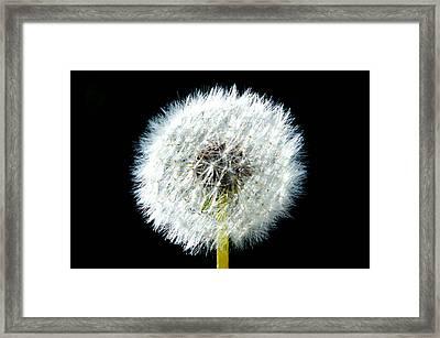 Dandelion Framed Print by Joyce Sherwin