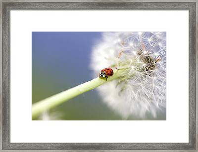 Dandelion Ladybugs Framed Print by Falko Follert