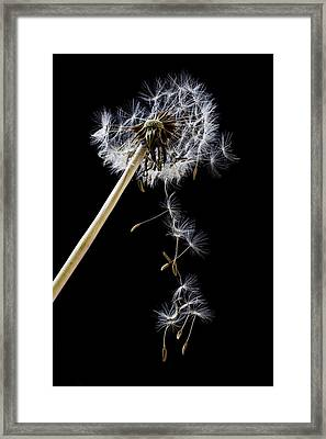 Dandelion Loosing Seeds Framed Print by Garry Gay
