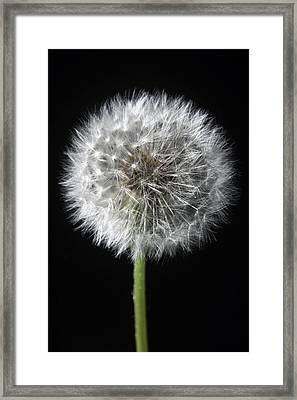 Dandelion Framed Print by Marc Huebner