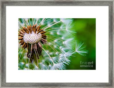 Dandelion Poof Soft  Framed Print
