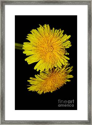 Dandelion Reflecting By Kaye Menner Framed Print