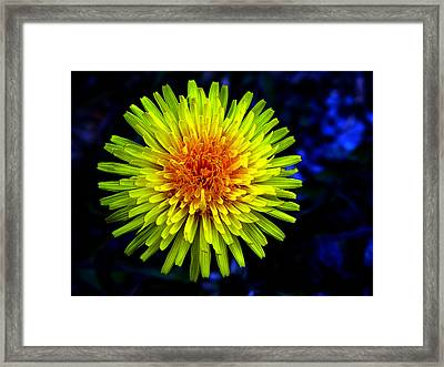 Dandelion Framed Print by Robert Knight