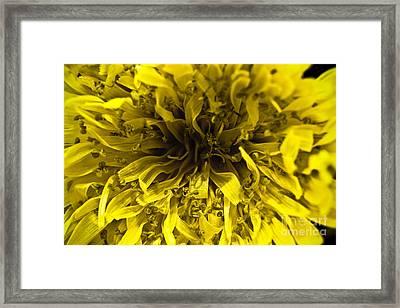 Dandelion Framed Print by Ryan Kelly