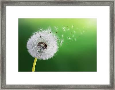 Dandelion Seed Framed Print by Bess Hamiti