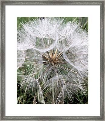 Dandelion Seed Head  Framed Print by Kathy Spall