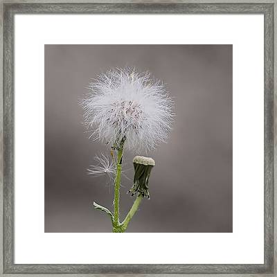 Dandelion Seed Head Framed Print by Rona Black