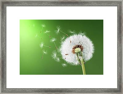 Dandelion Seeds Framed Print by Bess Hamiti
