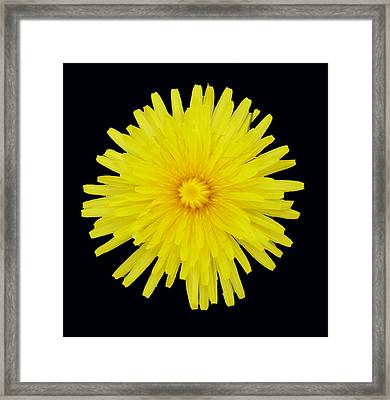 Dandelion Framed Print by Shirley anne Dunne