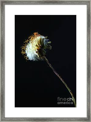 Dandelion Silhouette Framed Print by Edward Sobuta