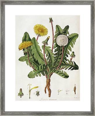 Dandelion Framed Print by William Kilburn