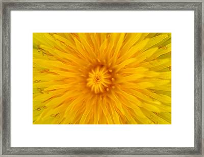 Dandelion8 Framed Print