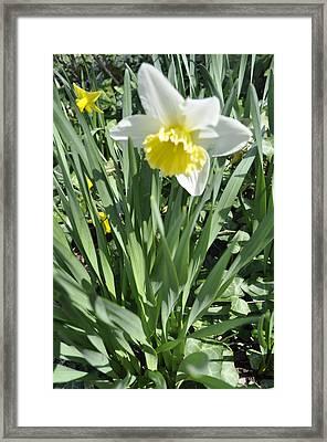 Dandy Daffodils Framed Print by Brynn Ditsche