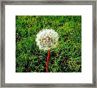 Dandy Framed Print by Kevin D Davis