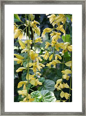 Dangling Yellow Flowers Framed Print by Tina McKay-Brown